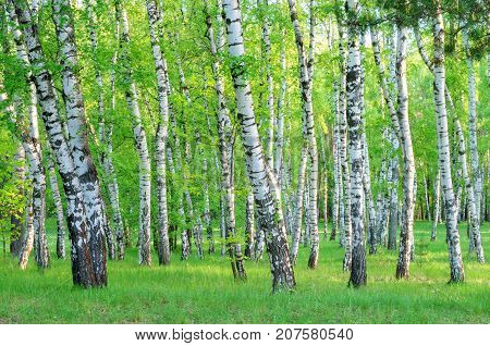 birch grove in the forest in the early morning tree trunks summer green foliage