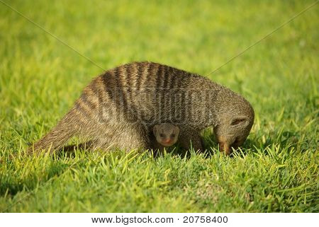 Mongoose mother with child