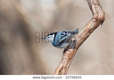 White Breasted Nuthatch Peers Over The Landscape