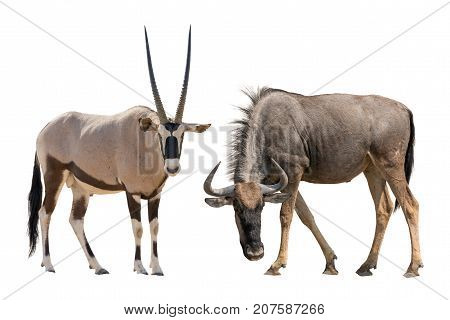 Set of oryx or gemsbuck and blue wildebeest portraits, isolated on white background