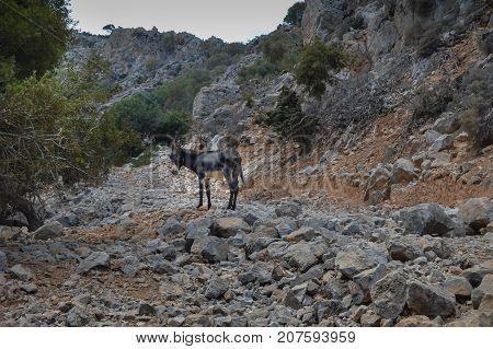Ane alone in the rocky mountains of the island of Crete