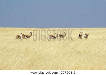 Herd of antilopes