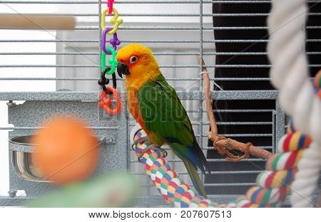 Colorful parrot in cage. A pet Jenday Conure (Jandaya Parakeet) Aratinga jandaya. Parrot with bright orange green and blue feathers native to Brazil and closely related to Sun Conures. Copy space.