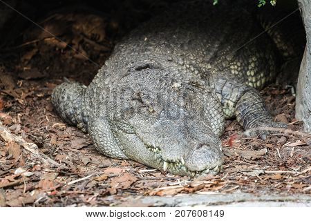 Close Up Of Crocodile Lying In The Nest