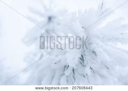 Blurred winter background. Close-up snow-covered branchs of pine on white background. Soft focus.