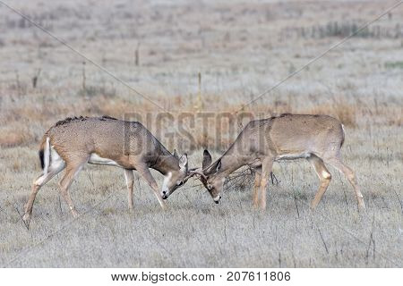 White-tailed deer bucks sparing with their young antlers.