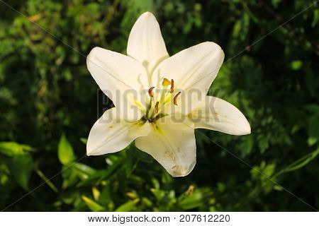Lily In The Garden