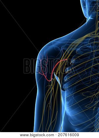 3d rendered medically accurate illustration of the Axillary Nerve