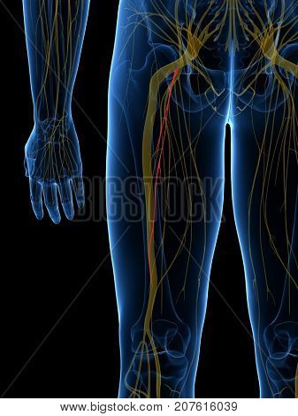 3d rendered medically accurate illustration of the Posterior Femoral Cutanious Nerve