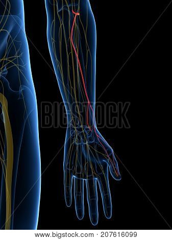 3d rendered medically accurate illustration of the Superficial Branch Radial Nerve