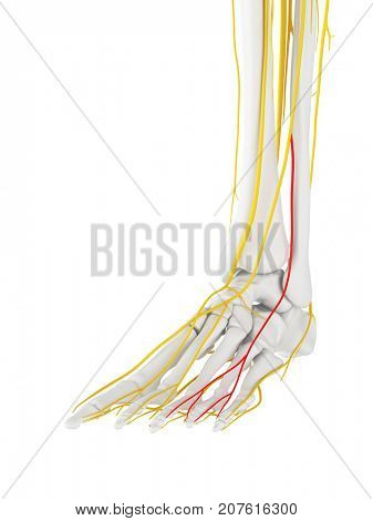 3d rendered medically accurate illustration of the Intermediate Dorsal Cutaneous Nerve
