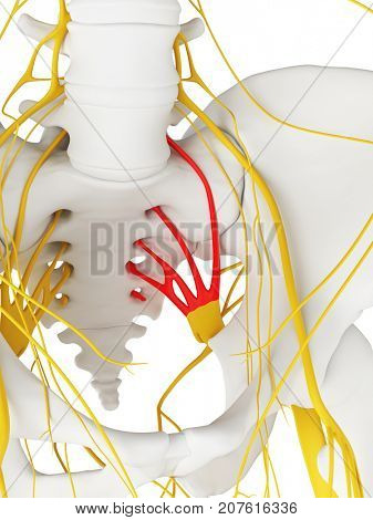 3d rendered medically accurate illustration of the sacral plexus