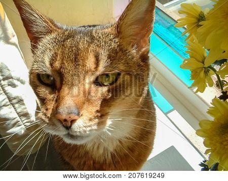 Abyssinian cat sitting in sunny stained glass window next to flowers soaking up the sun. Candid natural close up of content pretty face.