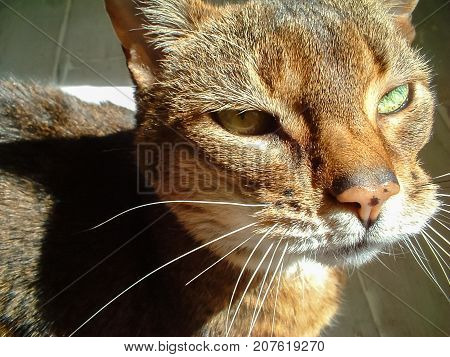 Abyssinian cats face in strong natural sunlight from the right. Close up detail. Candid natural portrait.