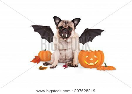 pug dog dressed up as bat for halloween with funny pumpkin lantern isolated on white background