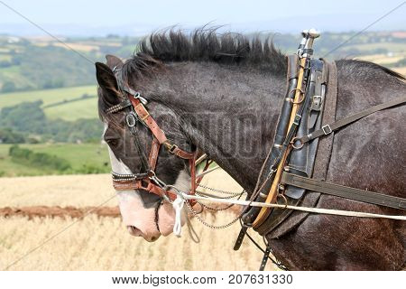 Shire horses ploughing a field after harvest