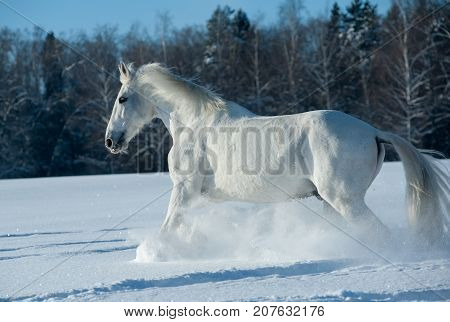 White horse the Orlov trotter is running in snow