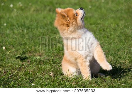 small dwarf spitz dog who sits and listens to his master