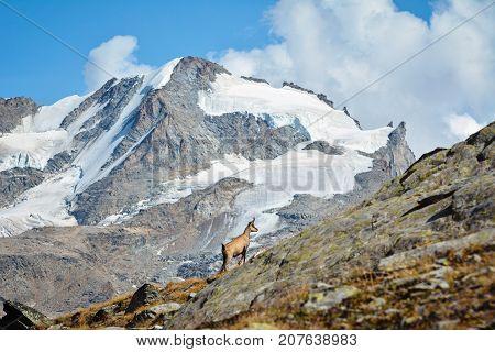 Alpine chamois. Gran Paradiso National Park, Italy