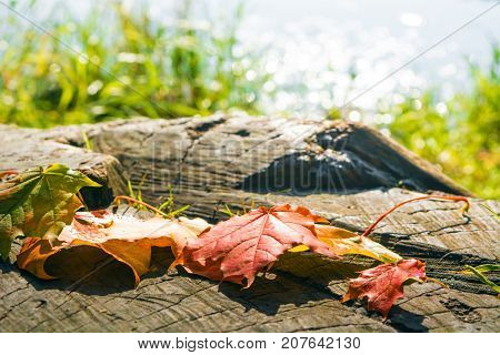 Autumn Maple Leaves On Stub With Lake Background And Sunlight