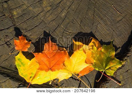 Maple Leaves With Hard Sunlight Over Wooden Stub