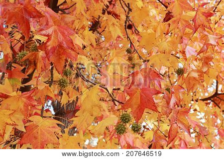 Close Up of Fall Leaves and Prickly Seed Balls