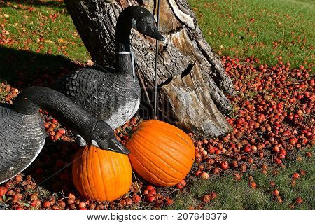 Several geese  decoys are among several pumpkins and crab apples laying on the ground.