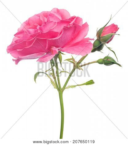 beautiful pink color rose isolated on white background