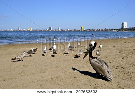 Seagulls and a brown pelican share the beach with the Mazatlan skyline in the distance