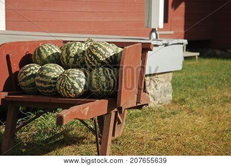 Wheelbarrow of freshly harvested Citron Watermelons on an autumn morning
