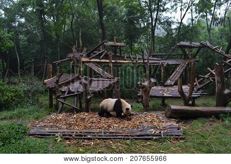 Panda Bear: Arguably The Icon Of Chengdu, Or Even Sichuan Province. Though Considered As Carnivore,