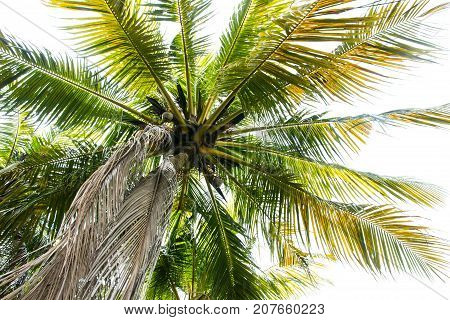 Image of coconut tree on white background