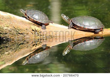 Pair of Painted Turtles on a  Log Reflecting in the Water