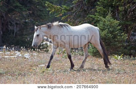 Pale Buckskin Apricot Dun wild horse stallion in the Pryor Mountains wild horse range in Montana United States