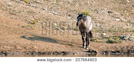 Gray Grulla wild horse stallion at the waterhole in the Pryor Mountains Wild Horse Range on the Wyoming Montana state border - United States