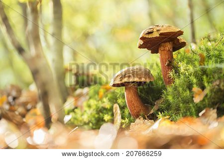 Two boletus erythropus growing over the moss.