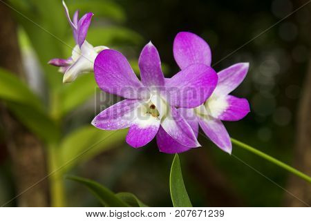 Orchids flower magenta blooming with nce orb background.