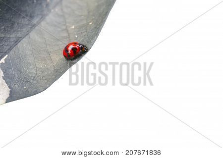 Beetle on dry leaf isolated on white background. This has clipping path.