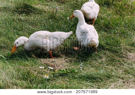 domestic ducks of white color walking on the grassland