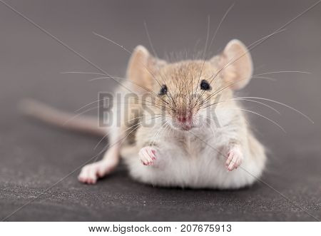 Mouse on a black background . Photos in the studio