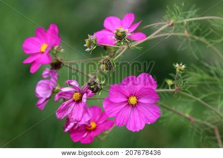 Branch of pink cosmos flowers. Cosmos is a one-year plant and very easy to sow