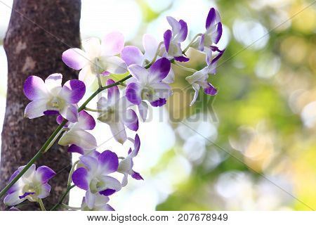white purple orchid. dendrobium flower with blur background