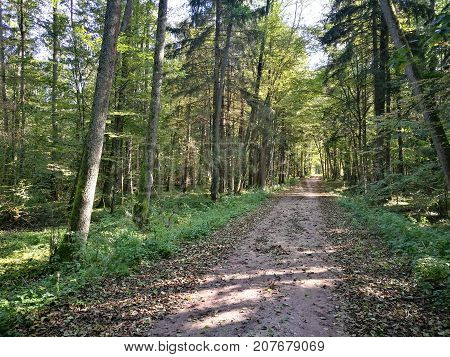 Ground road crossing autumnal deciduous stand, Bialowieza Forest, Poland, Europe