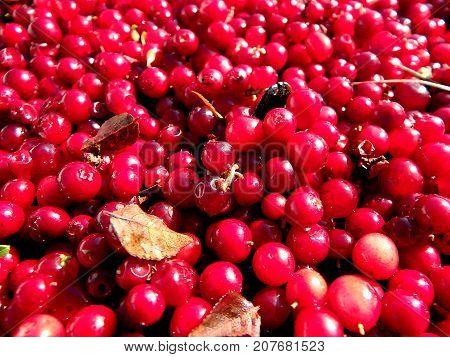 Cranberry (lingonberries cowberry) - red background ,  (Vaccinium vitis-idaea)