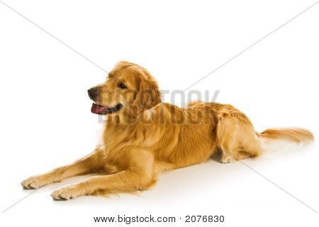 Beautiful golden retriever dogs in a variety of poses. poster