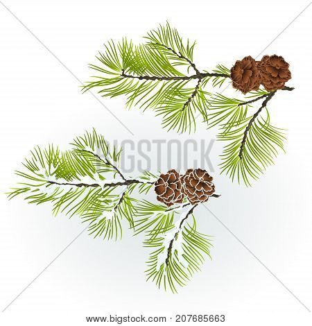 Conifer Branch Pine with pine cones autumnal and winter snowy natural background vector illustration editable hand draw