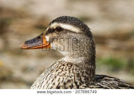 A close up of an orange beaked female mallard duck