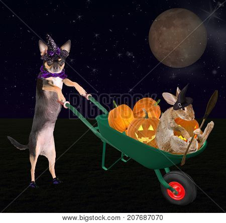 Cute halloween dog chihuahua with cute bunny drive with wheelbarrow with pumpkins and creepy pumpkin