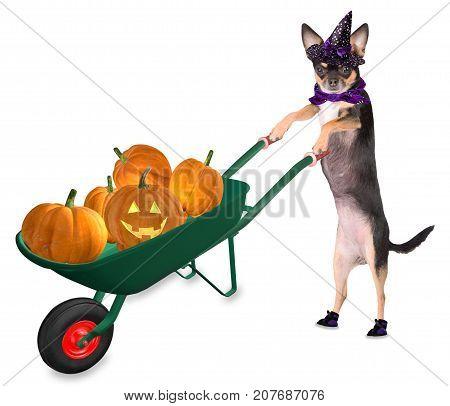 Cute halloween dog chihuahua drive with wheelbarrow with pumpkins and creepy pumpkin