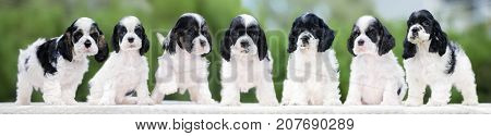group of seven cocker spaniel puppies outdoors
